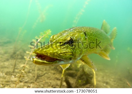 Pike in the lake - stock photo