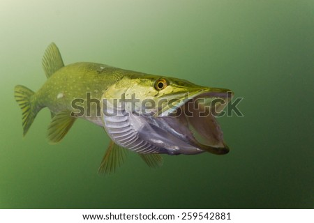 Pike in the lake with opened jaw - stock photo