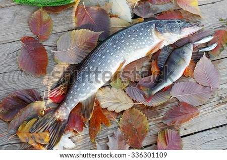 Pike, perch, autumn leaves - stock photo