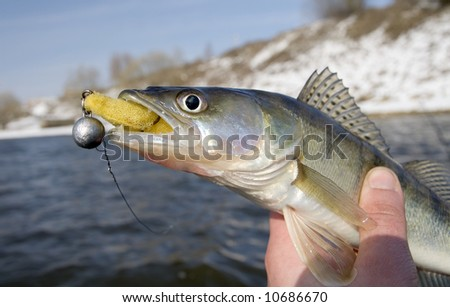 Pike-perch with lure - stock photo