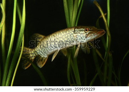 Pike predatory fish swimming  in the lake - stock photo