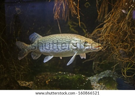 pike underwater - stock photo
