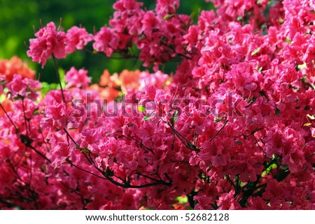 Pikn azalea - stock photo