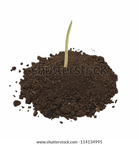 Pile dirt and germinated wheat grain isolated on white background,  copy space