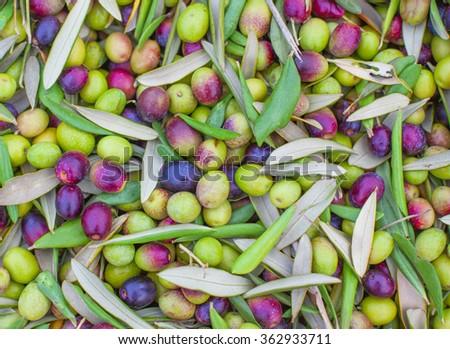 Pile of freshly picked olives. Background olives - stock photo