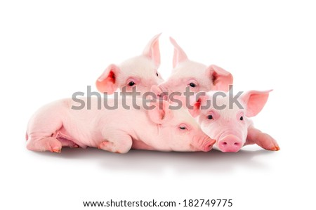 Pile of fun, pink pigs. Isolated on white background. - stock photo