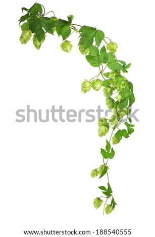 Pile of green hop cones isolated on white  - stock photo