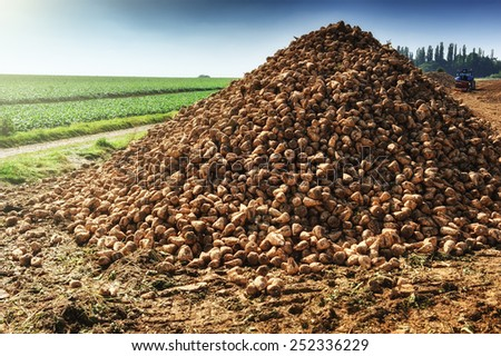 Pile of harvested sugar beet on agricultural field  - stock photo