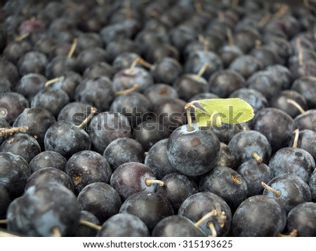 Pile of Sloe,Prunus spinosa - blackthorn- Close up - stock photo