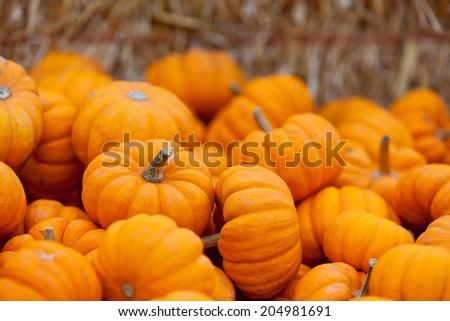 pile of small cute pumpkins at pumpkin patch - stock photo