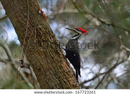 Pileated Woodpecker (Dryocopus pileatus) on side of tree in Florida State Park. - stock photo