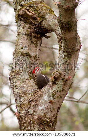 Pileated Woodpecker (Dryocopus pileatus) standing in and looking at a natural hole in a tree - stock photo