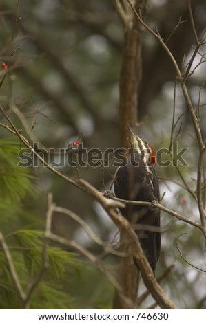 pileated woodpecker eating berries - stock photo
