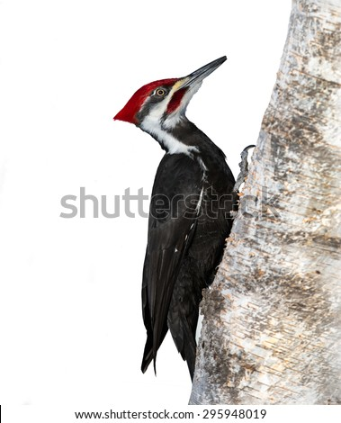 Pileated Woodpecker on White Background - stock photo