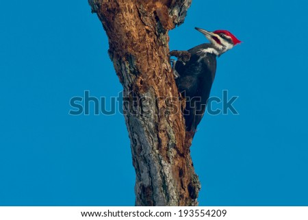 Pileated Woodpecker perched on a tree. - stock photo