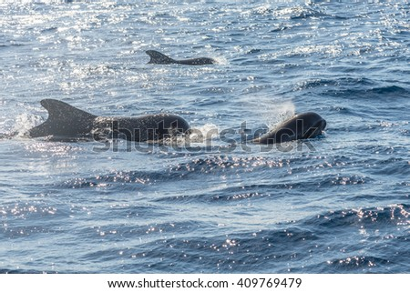 Pilot whales near the coast of La Gomera. The Oceano whale watching operator La Gomera stands for respectful whale watching. Exciting and close encounters with dolphins and whales