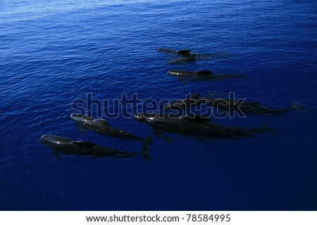 Pilot whales on the ocean - stock photo