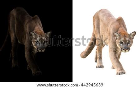 pima on black background and puma on white background - stock photo