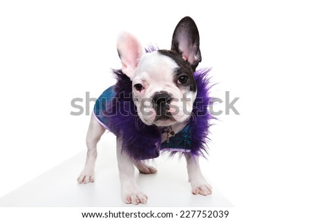 pimp looking dressed french bulldog puppy standing on white background and looks at the camera - stock photo