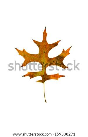 Pin Oak Leaf - stock photo