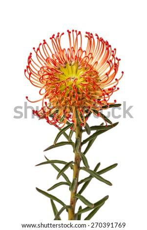 Pincushion Protea Flower - stock photo