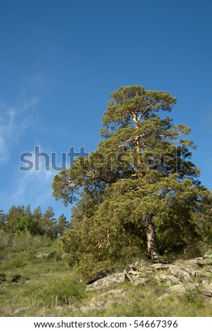 Pine against the blue sky