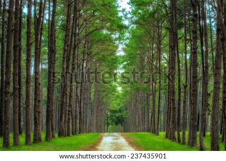 Pine Agroforestry. Boa Keaw Silvicultural Research Station (Suan Son Boa Keaw). Chiang Mai, Thailand - stock photo