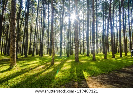 Pine Agroforestry. Boa Keaw Silvicultural Research Station (Suan Son Boa Keaw). Located on Hot-Mae Sariang road (Chiang Mai, Thailand) - stock photo