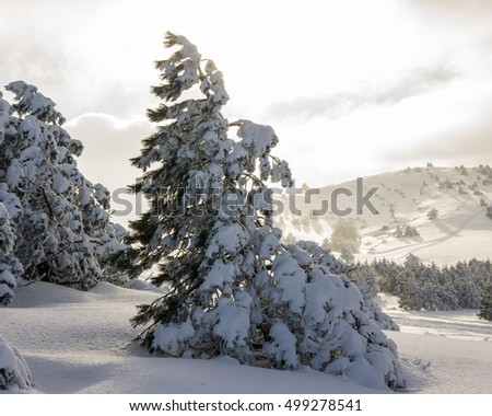 pine and mountain landscape in the mountains