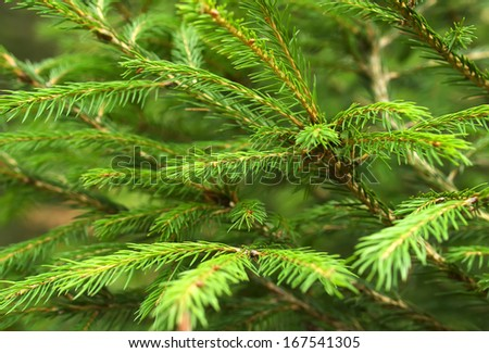 Pine as a background. Natural concept - stock photo