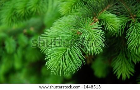 pine background - stock photo