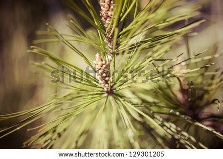 Pine background in vintage perfect background - stock photo