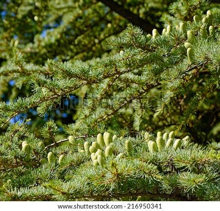 pine background with cones - stock photo