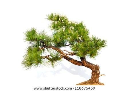 Pine bonsai isolated on white (part) - stock photo