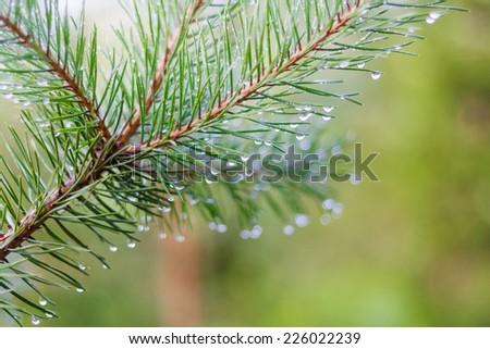 Pine branch - stock photo