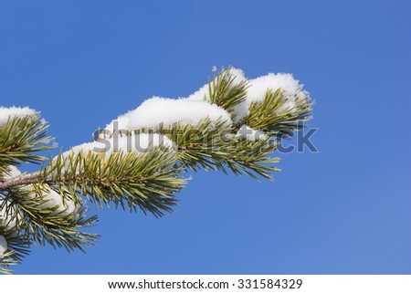 pine branch covered with snow against the blue sky - stock photo