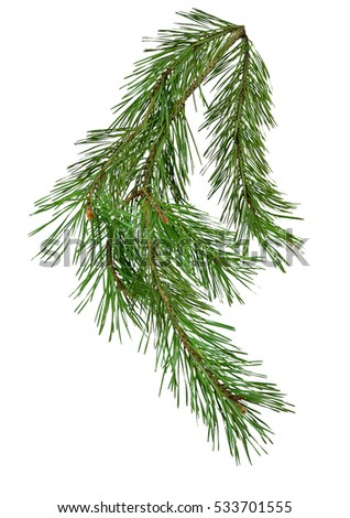 Pine branch isolate on white background without shadows. Close-up. Christmas. Nature.