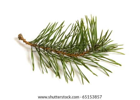 Pine branch on white background - stock photo