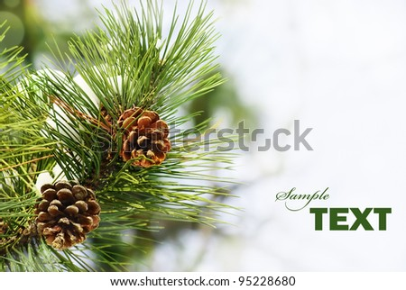 Pine branch under snow with copyspace - stock photo
