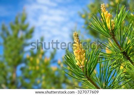 Pine branch with buds against the sky - stock photo