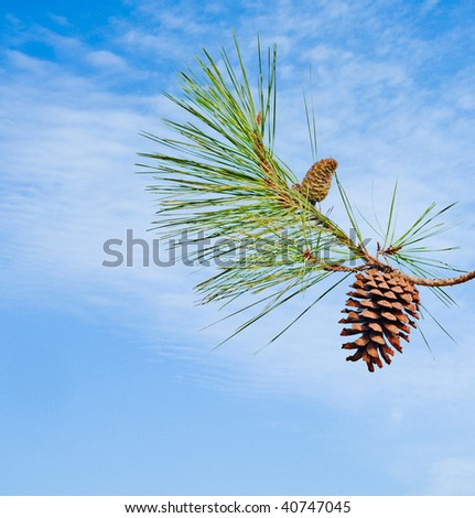 Pine branch with cone isolated on sky background - stock photo