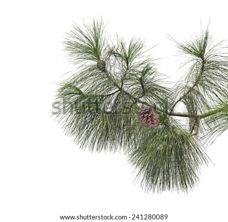 Pine branch with cones isolated on white background - stock photo