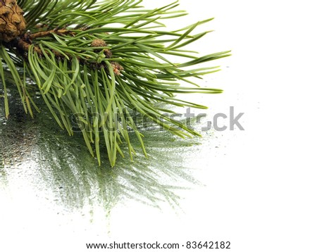 Pine branch with cones on a white background with water drop - stock photo