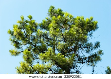 Pine branch with cones on the sky background. Soft focus - stock photo