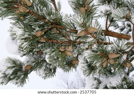 Pine branch with cones viewed from under the tree