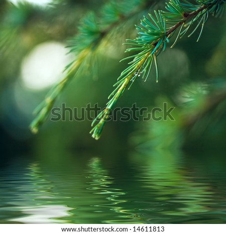 pine branch with dew reflection