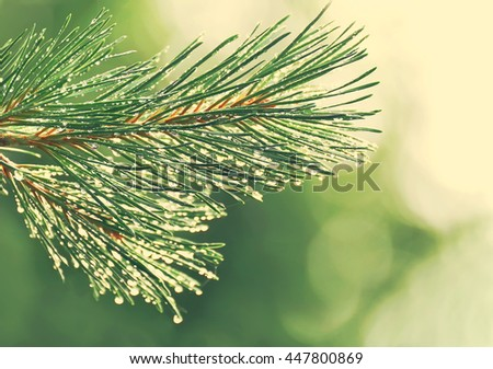 Pine branch with drops after rain