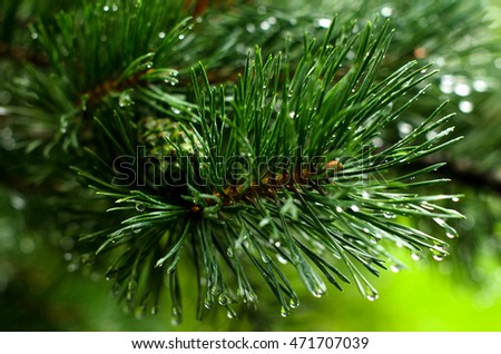 Pine branch with green needles. Freshness. A drop of rain. Rainy weather.
