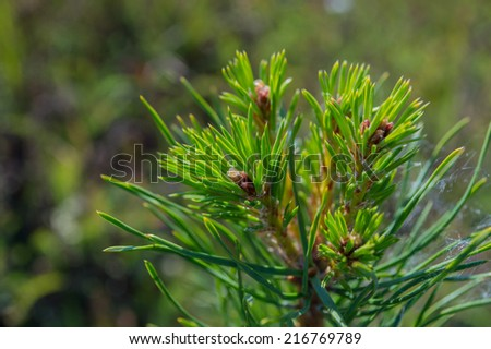 Pine branch with resin - stock photo