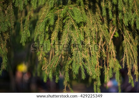 Pine branch with shallow depth of field. - stock photo